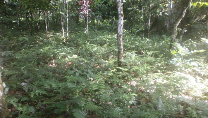 Plantation de cacao à Djoum